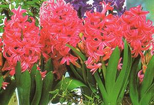 Pěstování libečku v květináči