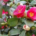 Kamélie, pokojové květiny v zimě