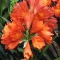Klívie, zimní spánek u pokojových květin