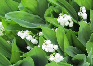 Konvalinky poslové jara