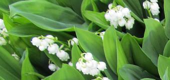 Konvalinky ohlašují příchod jara