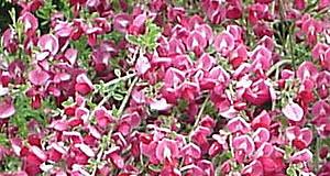 Čilimník nachový – Cytisus purpureus