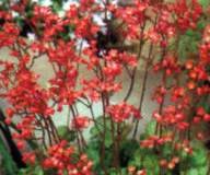 Dlužicha – ozdoba zahrad