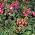 Fuchsie, pěstování v truhlíku