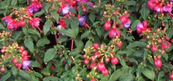 Jaké rostliny sázíme do samozavlažovacích truhlíků?