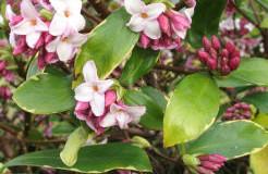 Růžové květy lýkovce obecného (Daphne mezereum)