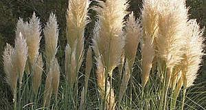 Pampas stříbřitý