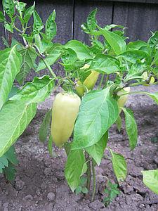 Papriky, pěstování v srpnu