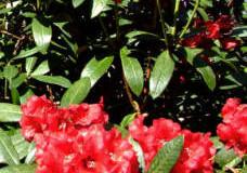 Choroby a škůdci rododendronů a azalek