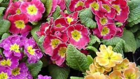 Prvosenka jarní květina