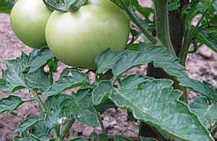 Pěstujeme rajčata