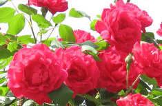 Ošetřování popínavých růží