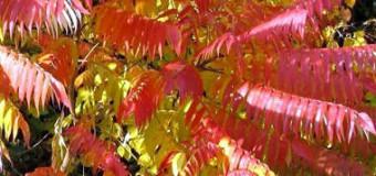 Okrasné dřeviny na podzim – barevné listy