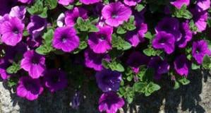 Sázení a hnojení balkonových květin