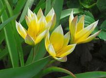 Tulipán pozdní – Tulipa Tarda