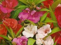 Květina netýkavka – Impatiens