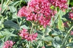 Mavuň červená – Centranthus ruber