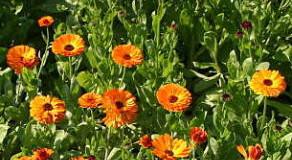 Které rostliny jsou vhodné jako zelené hnojivo