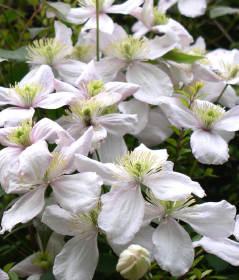 Plamének - popínavá rostlina