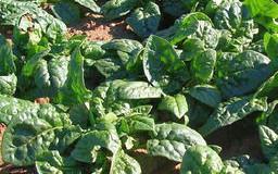 Špenát zelný