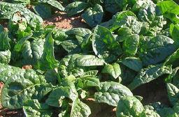 Špenát zelný, pěstování