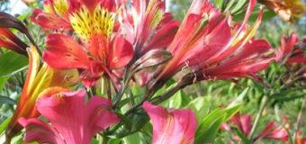Hlíznatá květina boubelka (Alstroemerie)
