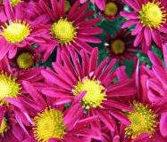 Drobnokvěté chryzantémy