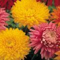 Chryzantémy velkokvěté