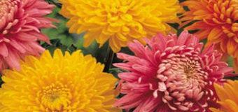 Velkokvěté chryzantémy