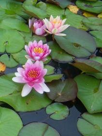 Leknín, vodní rostliny