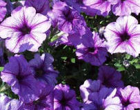 Proč se mají odstraňovat odkvetlé květy?