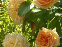 Vysazování nových růží