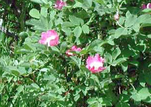 Růže dužnoplodá
