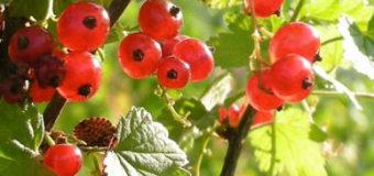 Antraknóza – nemoc ovocných dřevin