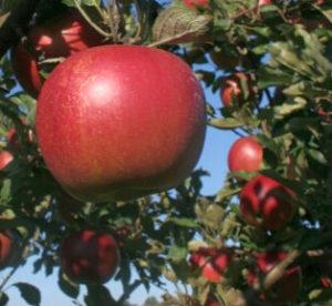 Kupujeme ovocné stromky
