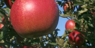 Nejlepší odrůdy jablek