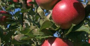 Ovocné stromy a zelené hnojení