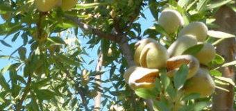 Pěstování mandloní v našich podmínkách