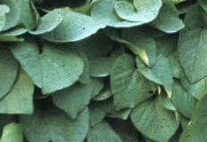 Popínavé rostliny do stínu