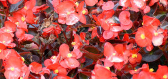 Begónie stálekvetoucí (Begonia semperflorens)