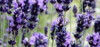 Bylinky, které odpuzují škůdce a choroby v zahradě