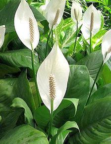 Lopatkovec, Spathiphyllum