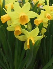Narcisy - pěstování