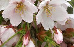 Květy, které provoní jarní zahradu