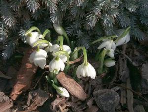 Sněženky na jaře