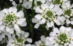 Iberka skalní (Iberis sazatilis)