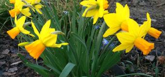 Narcisová moucha – cibulovka narcisová