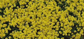 Tařice skalní (Aurinia saxatilis)