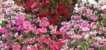 Pěstujeme hvozdník čínský (Dianthus chinensis)