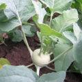 Kedlubny - pěstování